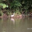 堀川の白鷺